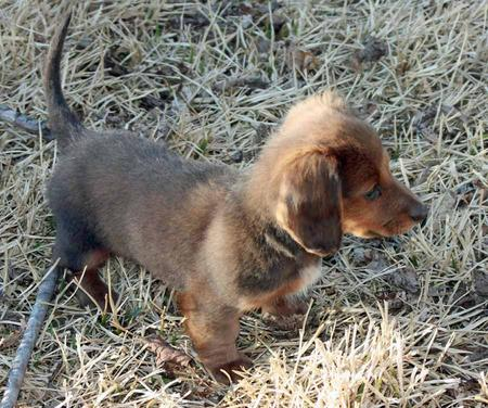 Summer the Miniature Dachshund Pictures 1018896
