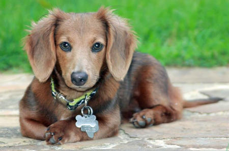 Summer the Miniature Dachshund Pictures 1018899