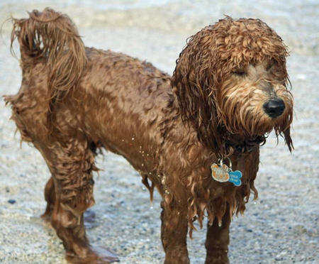 Sundance the Labradoodle Pictures 879805