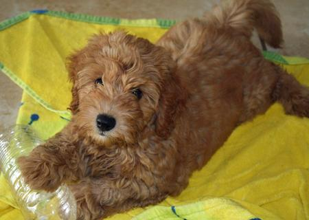 Sundance the Labradoodle Pictures 879807