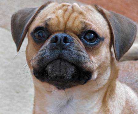 Super Dave the Pug Mix | Dogs | Daily Puppy