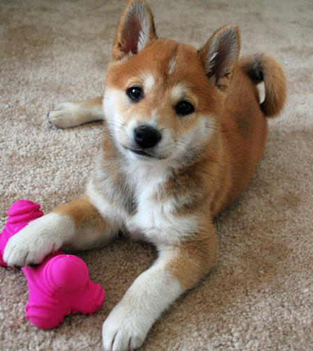 Sushi the Shiba Inu | Puppies | Daily Puppy