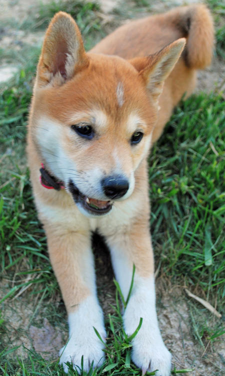 Sushi the Shiba Inu Pictures 584235