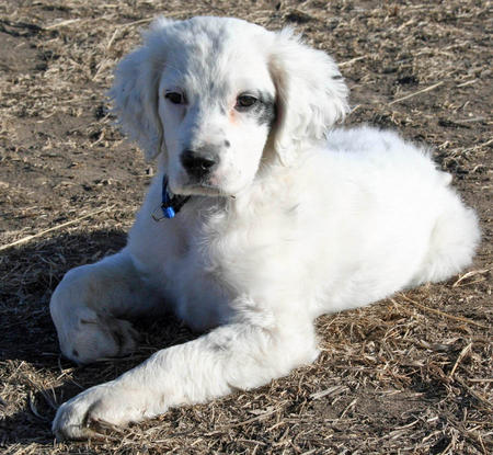 Susie the English Setter Pictures 953296