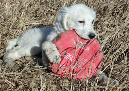 Susie the English Setter Pictures 953297