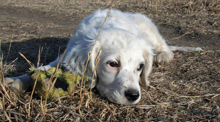 Susie the English Setter Pictures 953298