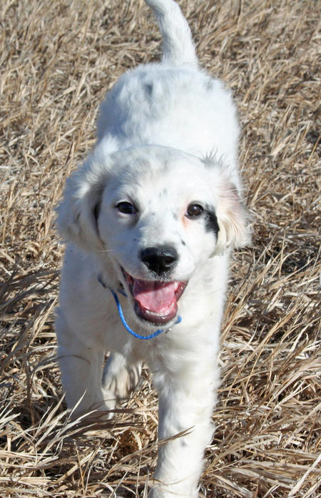 Susie the English Setter Pictures 953293