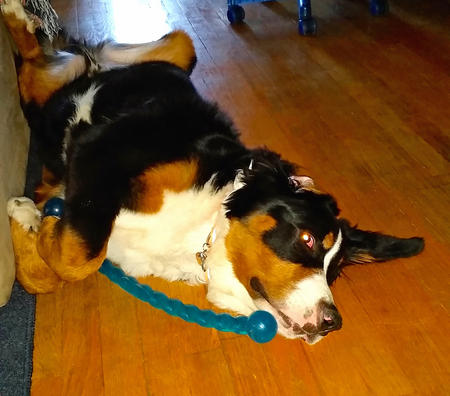 Sven the Bernese Mountain Dog Pictures 1033729