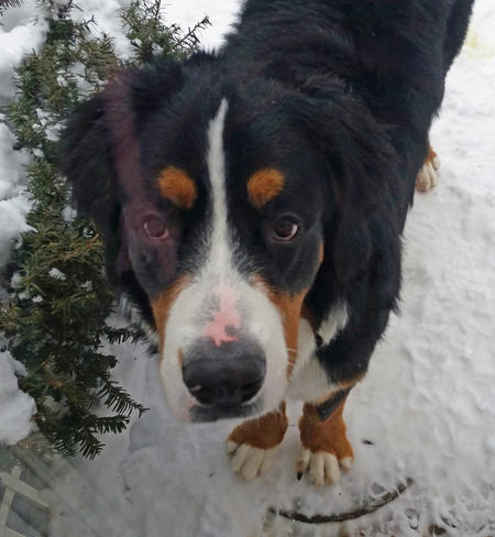 Sven the Bernese Mountain Dog Pictures 1033732