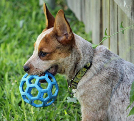 Sydney the Australian Cattle Dog Pictures 624929