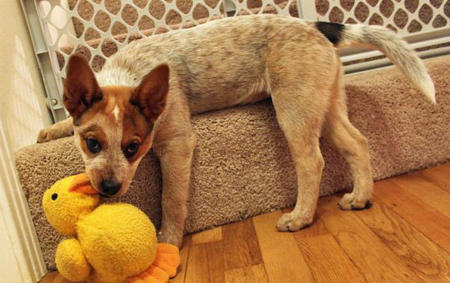 Sydney the Australian Cattle Dog Pictures 624933