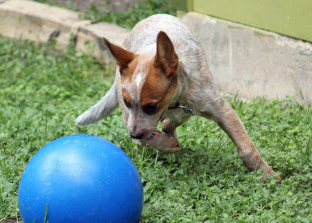 Sydney the Australian Cattle Dog Pictures 624934