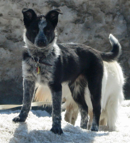 Australian Cattle Dog Border Collie Mix