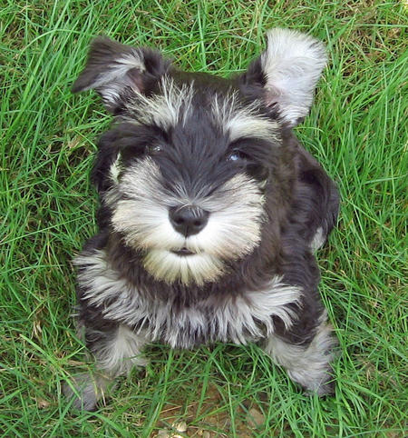 Sydney the Miniature Schnauzer Pictures 1045777