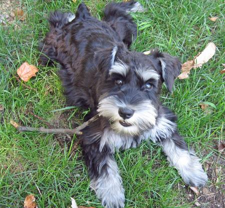 Sydney the Miniature Schnauzer Pictures 1045778