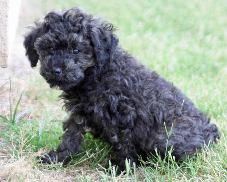 Sydney the Poodle Mix Pictures 800168