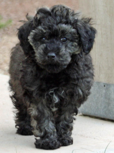 Sydney the Poodle Mix Pictures 800169