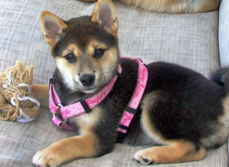 Sydney the Shiba Inu Pictures 598999