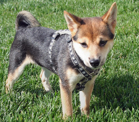 Sydney the Shiba Inu Pictures 598981