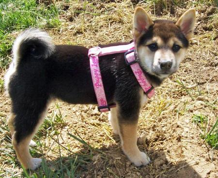 Sydney the Shiba Inu Pictures 598985