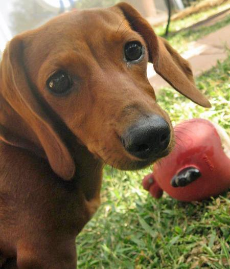 Tabitha the Dachshund Pictures 856674