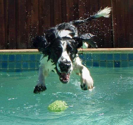 Tag the English Springer Spaniel Pictures 599077