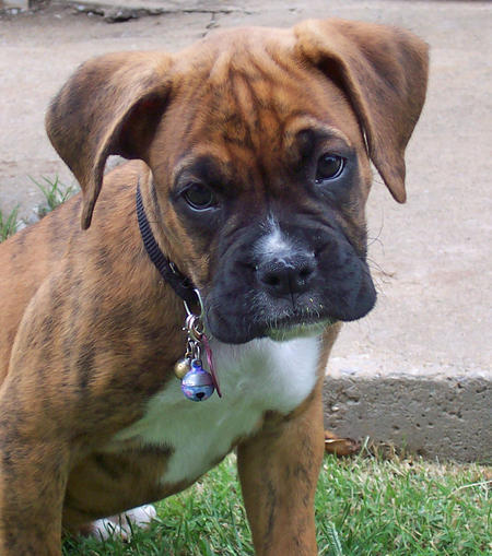 Tallie the Boxer Pictures 493829