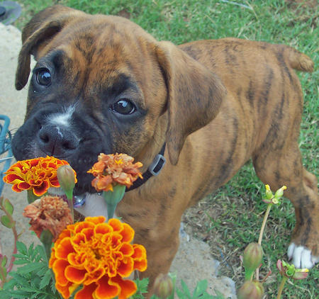 Tallie the Boxer Pictures 493831