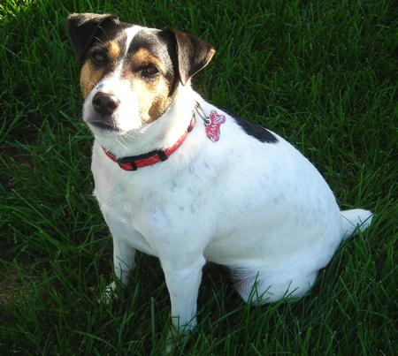 Tambe the Jack Russell Terrier Pictures 607892