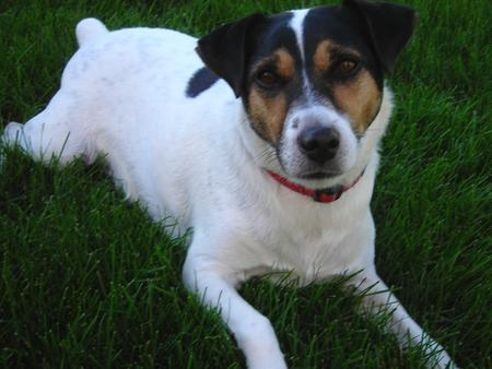 Tambe the Jack Russell Terrier Pictures 607893
