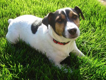 Tambe the Jack Russell Terrier Pictures 607894