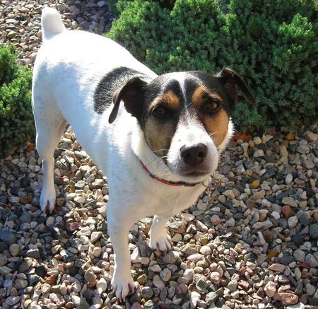 Tambe the Jack Russell Terrier Pictures 607895