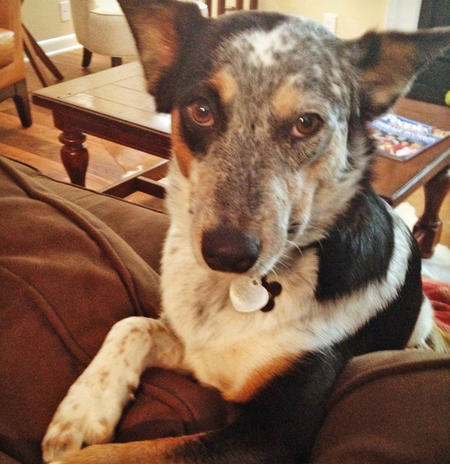 Tango the Cattle Dog Mix Pictures 945531