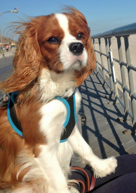 Tango the Cavalier King Charles Spaniel Pictures 991667