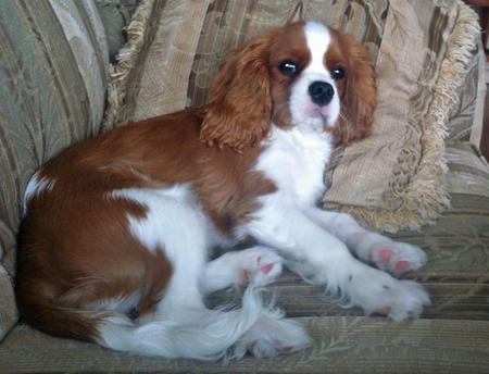 Tango the Cavalier King Charles Spaniel Pictures 991668