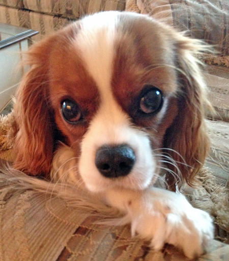 Tango the Cavalier King Charles Spaniel Pictures 991669