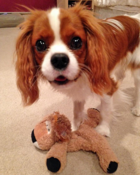 Tango the Cavalier King Charles Spaniel Pictures 991670