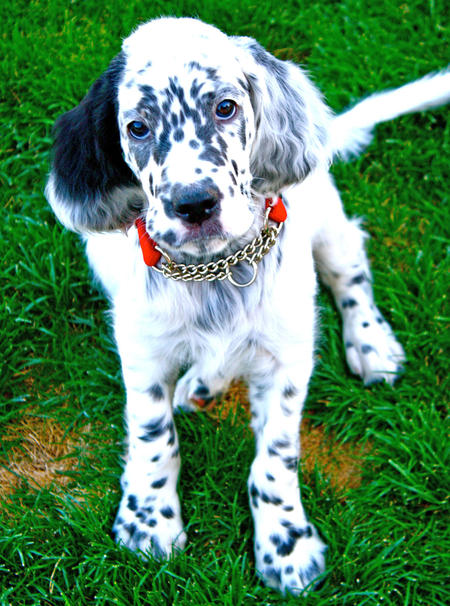 Tango the English Setter Pictures 1056670