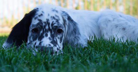 Tango the English Setter Pictures 1056672