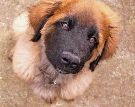 Tanin the Leonberger Pictures 1052909