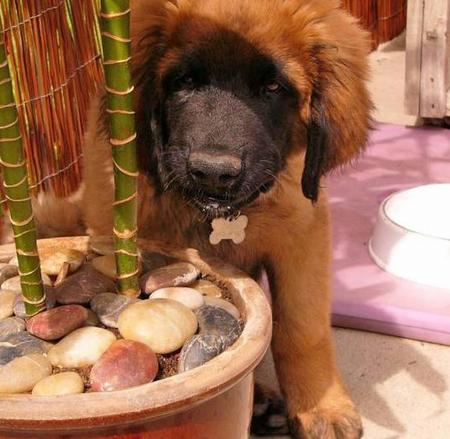 Tanin the Leonberger Pictures 1052911