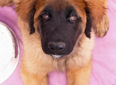 Tanin the Leonberger Pictures 1052912