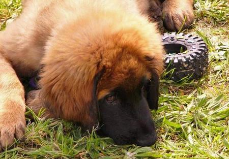 Tanin the Leonberger Pictures 1052913