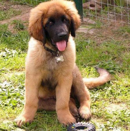 Tanin the Leonberger Pictures 1052914