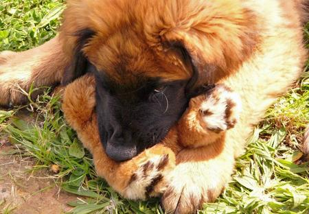 Tanin the Leonberger Pictures 1052917