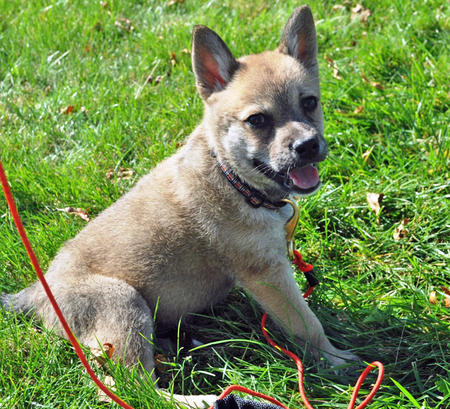 Tank the Akita Mix Pictures 838669