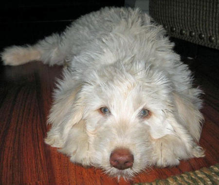 Tanner the Labradoodle Pictures 777779