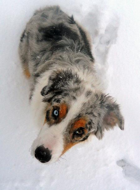 Tazz the Australian Shepherd Pictures 927145
