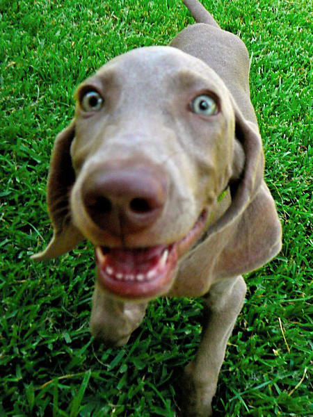 Tea the Weimaraner Pictures 646405