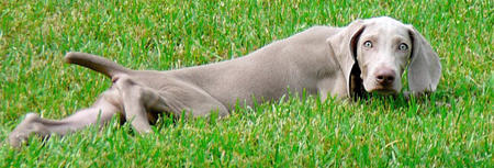 Tea the Weimaraner Pictures 646404